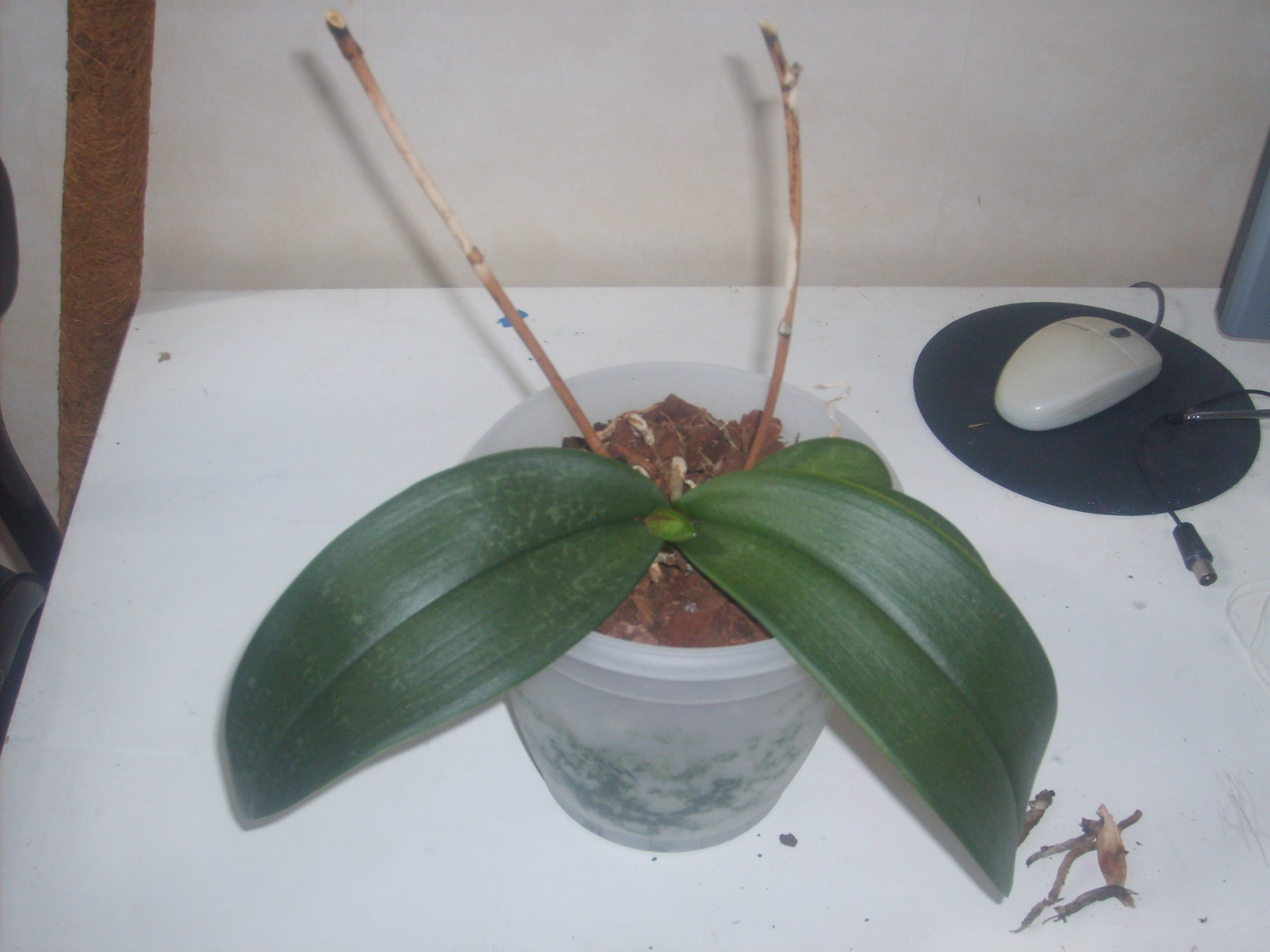 Comment faire refleurir une orchide orchide cambria en pot comment faire refleurir mes - Comment arroser une orchidee ...
